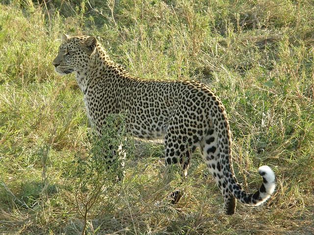 Leopard in Malawi