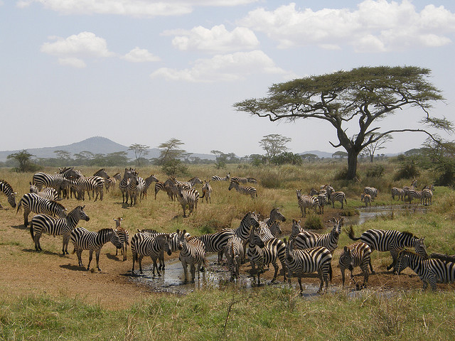 Zebra safari in Malawi